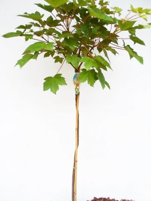 Platanalapio klevo Brilliantissimum sodinukas vazone aukštis 130 cm