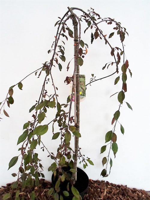 Rojaus obels Royal Beauty sodinukas vazone aukštis 160 cm