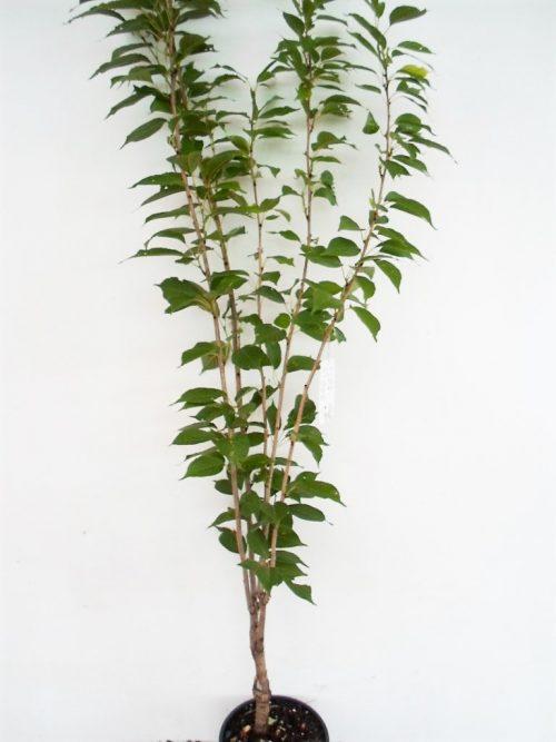 Smailiadantės vyšnios -Sakuros kanzan sodinukas vazone aukštis 210 cm