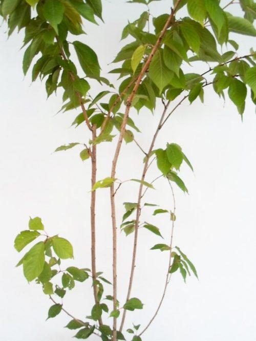Smailiadantės vyšnios (Sakura) sodinukas vazone aukštis 200 cm