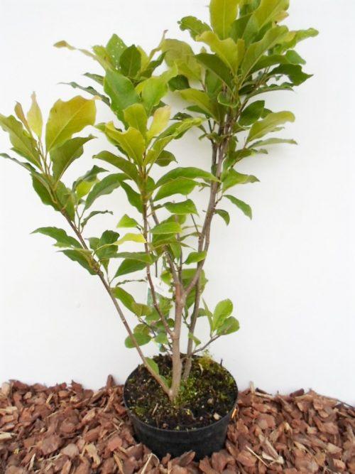 Sulanžo magnolja krūmas sodinukas vazone aukštis 70 cm