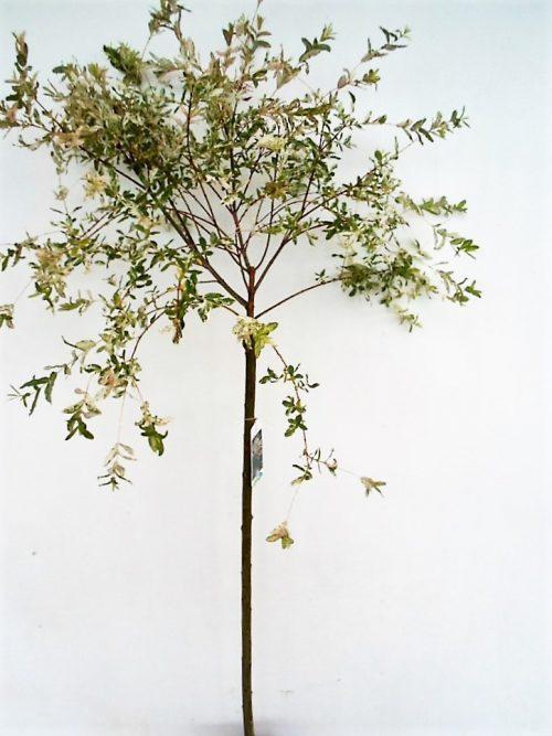 Sveikalapio gluosnio Hakuro nishiki sodinukas vazone aukstis 110 cm