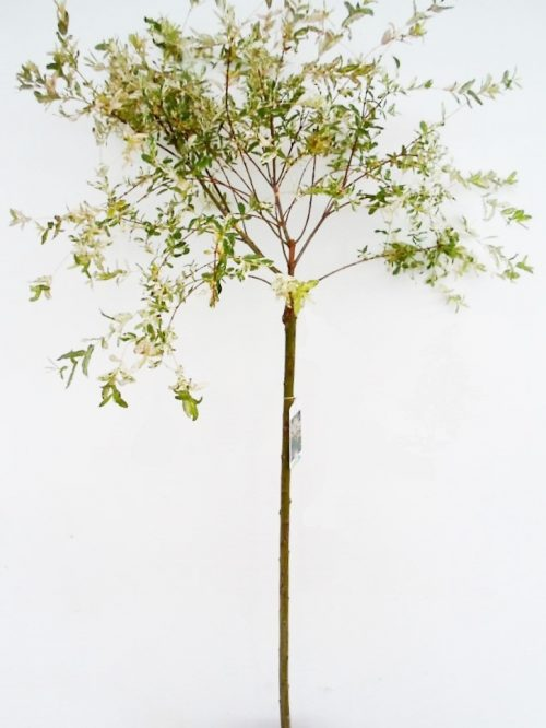 Sveikalapis gluosnis Hakuro sodinukas aukštis 140 cm