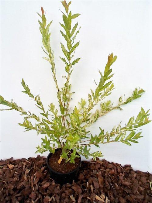 Sveikalapis gluosnis Hakuro nishiki sodinukas vazone aukštis 45 cm