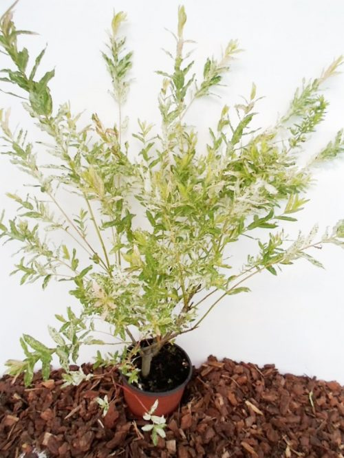 Sveikalapis gluosnis Hakuro nishiki sodinukas vazone aukštis 80 cm