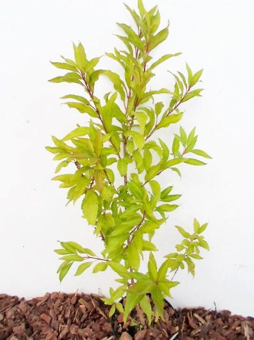 Tarpinė forsitija sodinukas vazone aukštis 70 cm