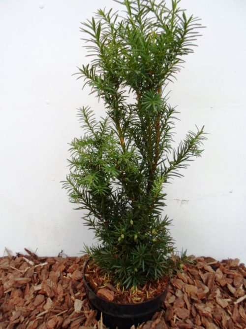 Tarpinis kukmedis Hicksii (Taxus media) 50 cm