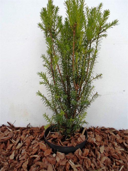 Tarpinis kukmedis Hicksii (Taxus media) 55 cm