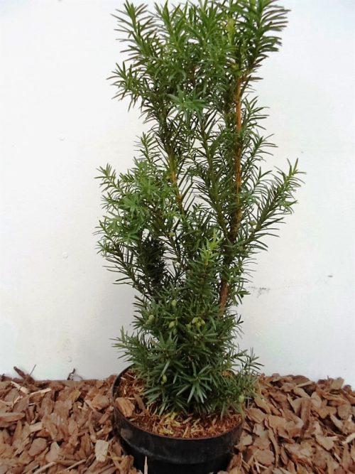 Tarpinnis kukmedis Hicksii (Taxus media)  85 cm
