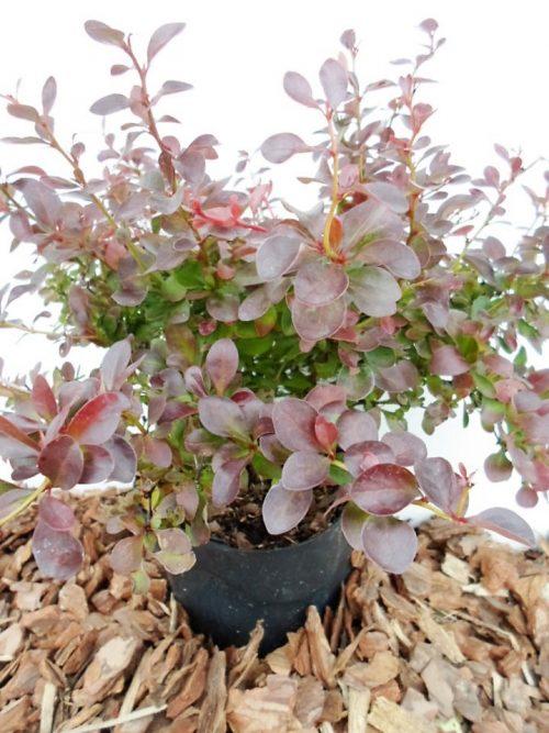 Tunbergo raugerškis Atropurpurea Nana sodinukas vazone aukštis 30 cm