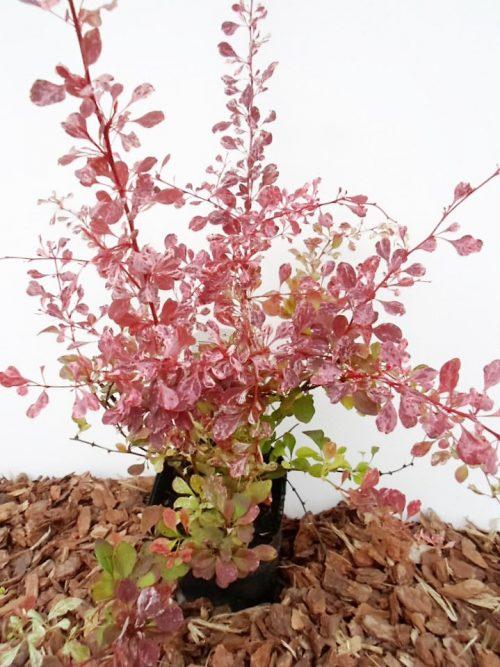 Tunbergo raugerškis Rose Glow sodinukas vazone aukštis 50 cm