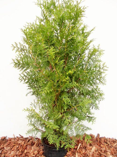 Vakarinė-tuja-Brabant (Thuja occidentalis) - Aukštis 110 cm