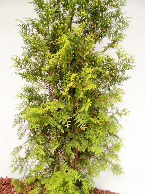 Vakarinė tuja Brabant (Thuja occidentalis) - Aukštis 170 cm