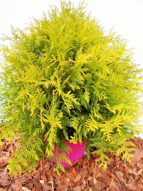 Vakarinė tuja Golden Globe (Thuja occidentalis) - Aukštis 50 cm