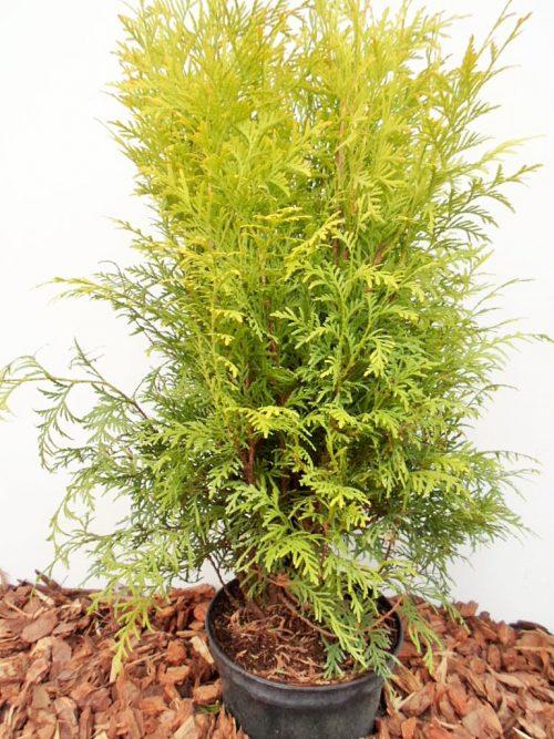 Vakarinė tuja Golden Globe (Thuja occidentalis) - Aukštis 60 cm
