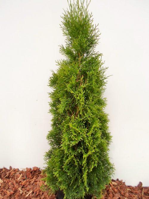 Vakarinė tuja Smaragd (Thuja occidentalis) - Aukštis 110 cm