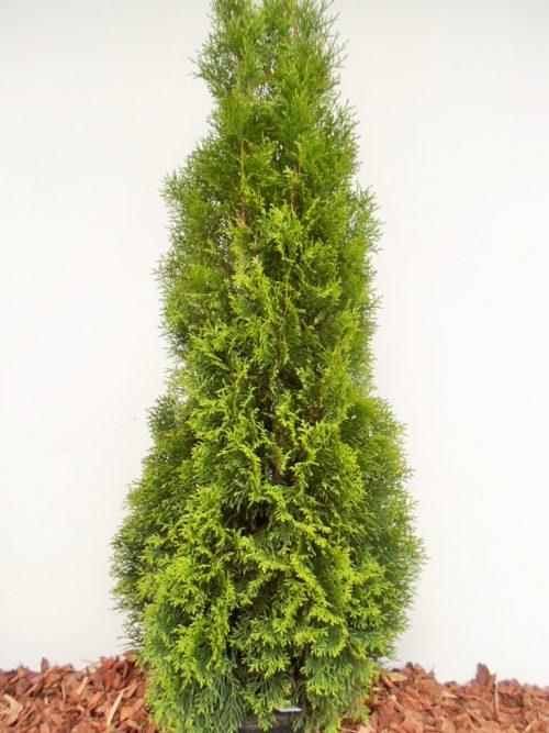Vakarinė tuja Smaragd (Thuja occidentalis) - Aukštis 130 cm