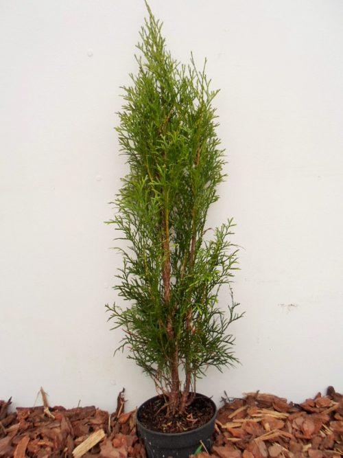 Vakarinė tuja Smaragd (Thuja occidentalis) - Aukštis 65 cm