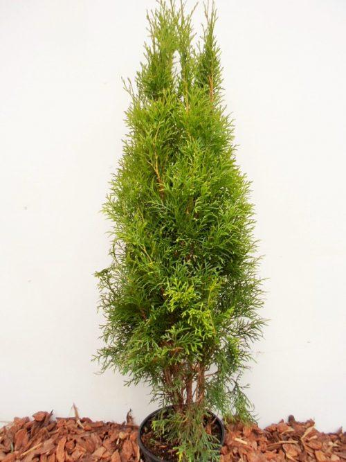 Vakarinė tuja Smaragd (Thuja occidentalis) - Aukštis 90 cm