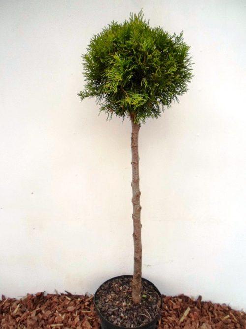 Vakarinė tuja Smaragd stamb (Thuja occidentalis) - Aukštis 105 cm