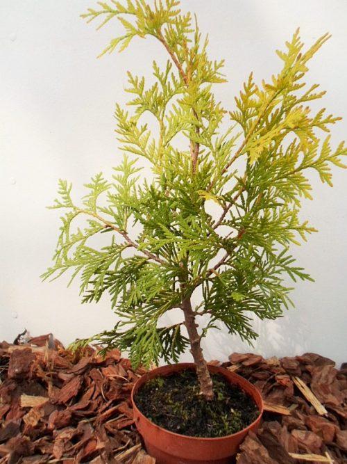 Vakarinė tuja Sunkist (Thuja occidentalis) - Aukštis 40 cm