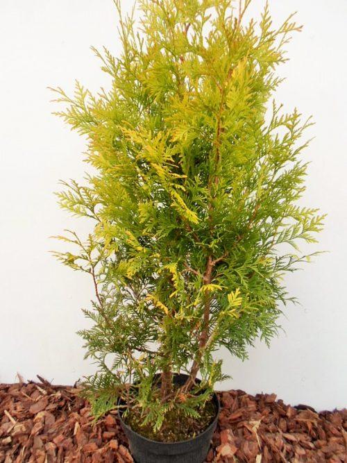 Vakarinė tuja Sunkist (Thuja occidentalis) - Aukštis 80 cm