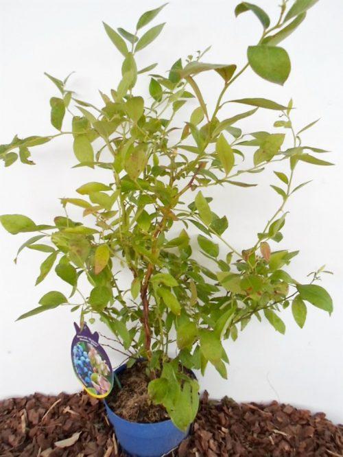Sodinukas Aukštoji šilauogė Bluetta aukštis 70 cm
