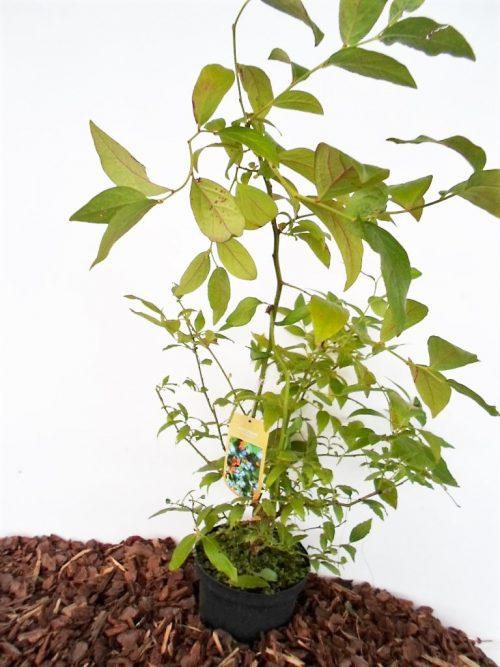 Sodinukas Aukštoji šilauogė aukštis 65 cm