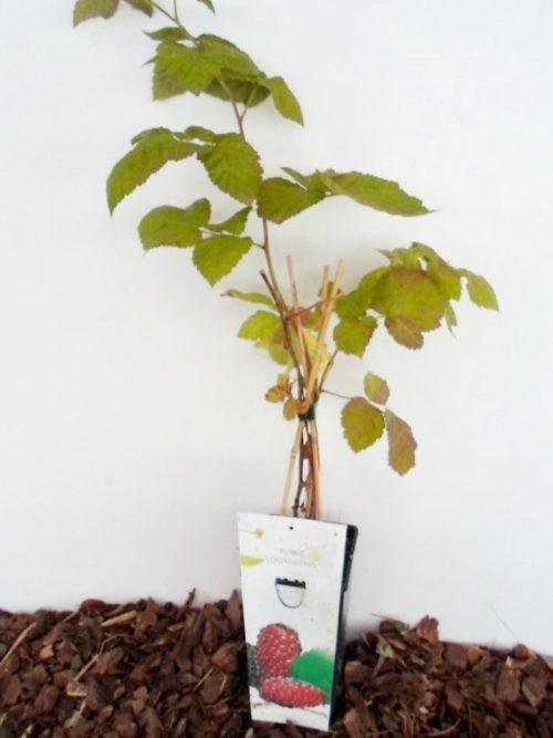 Sodinukas vazone Avietės ir gervuogės hibridas aukštis 50 cm