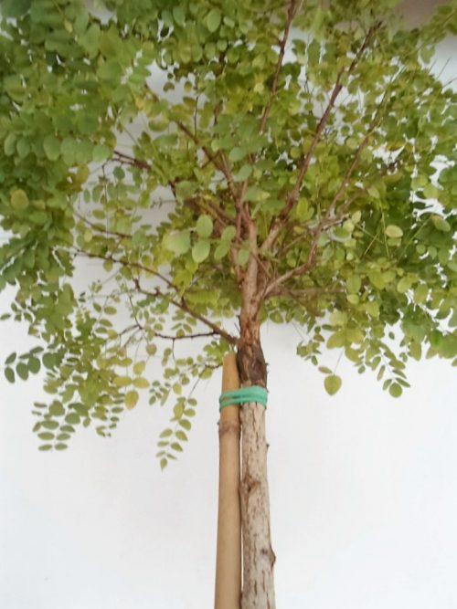 Sodinukas vazone Baltažiedė robinija Umbraculifera aukštis 250 cm