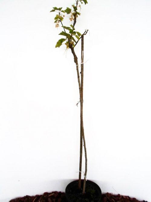 Sodinukas Baltieji serbentai Jutenborgo baltieji stamb aukštis 110 cm