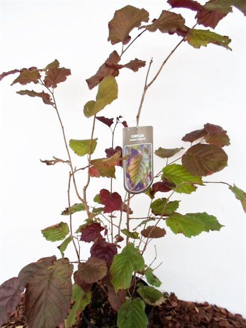 Sodinukas Didysis lazdynas Purpurea aukštis 80 cm