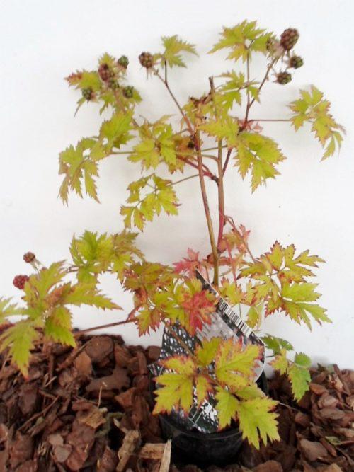 sodinukas vazone Gervuogė (bedyglė) Thornfree aukštis 30 cm