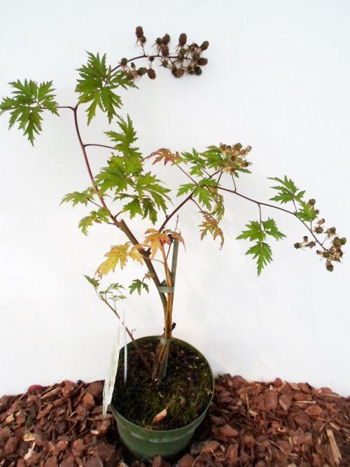 Sodinukas Gervuogė (bedyglė) Thornless Evergreen aukštis 55 cm