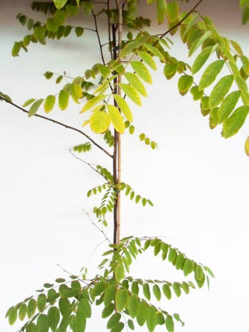 Sodinukas vazone Hibridinė (rausvažiedė) robinija Casque Rouge aukštis 200 cm