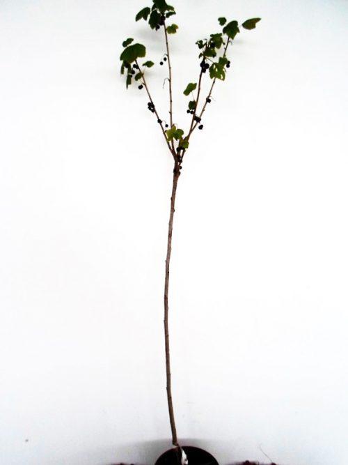 Sodinukas Juodasis serbentas Titania stamb aukštis 110 cm