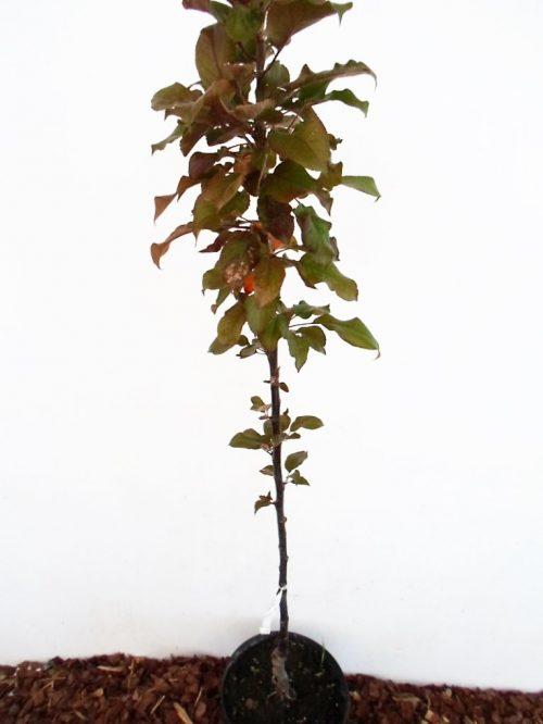 Koloninė obelis Maypole