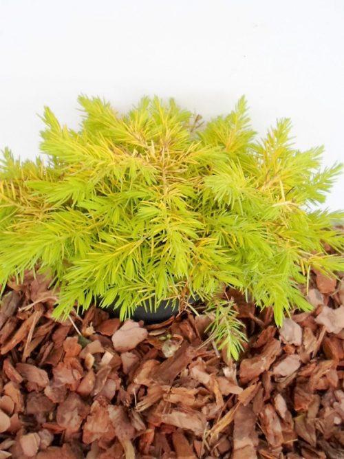 Sodinukas Pajūrinis kadagys Allgold aukštis 15 cm