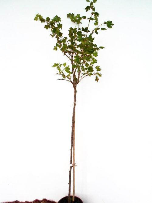 Sodinukas Paprastasis agrastas Hinonmaki stamb aukštis 110 cm