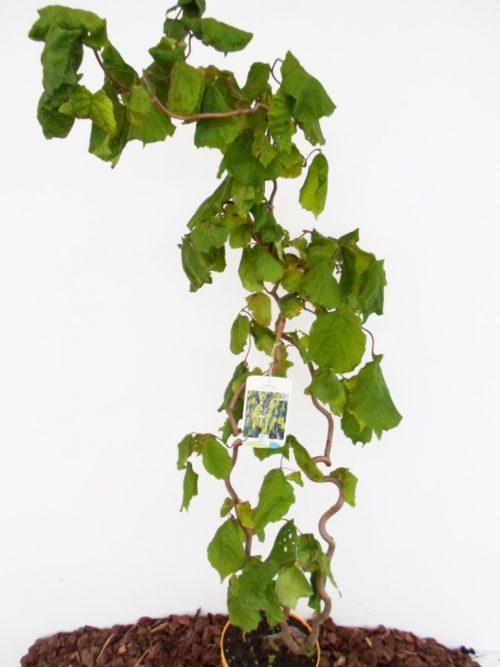 Paprastasis lazdynas Contorta sodinuko aukštis 100 cm