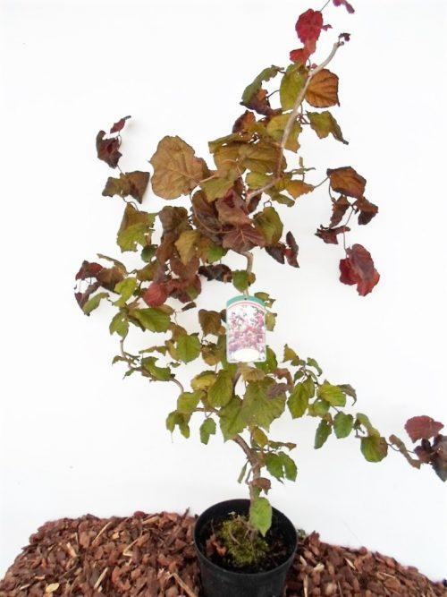 Sodinukas Paprastasis lazdynas Red Majestic aukštis 90 cm