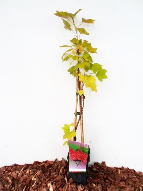 Sodinukas Raudonas serbentas Rovada aukštis 70 cm