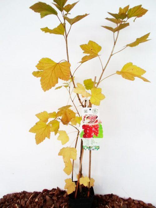 Sodinukas Raudonasis serbentas Jonkheer van tets aukįštis 70 cm