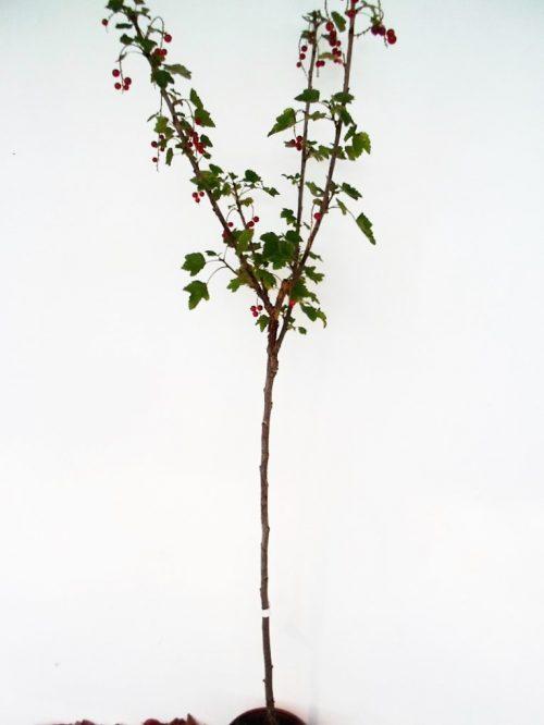 Sodinukas Raudonasis serbentas Jonkheer van tets stamb aukštis 110 cm