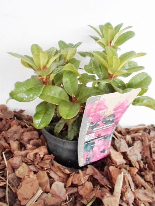 Sodinukas Rododendras Scarley Wonder aukštis 15 cm
