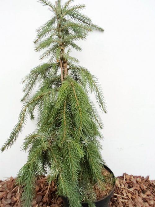 sodinukas Serbinė eglė Pendula Kuck aukštis 100 cm