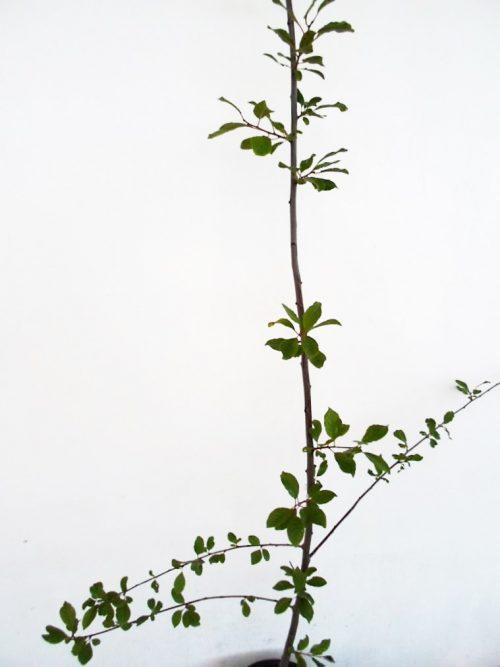 Slyva Bluefre (Prunus)