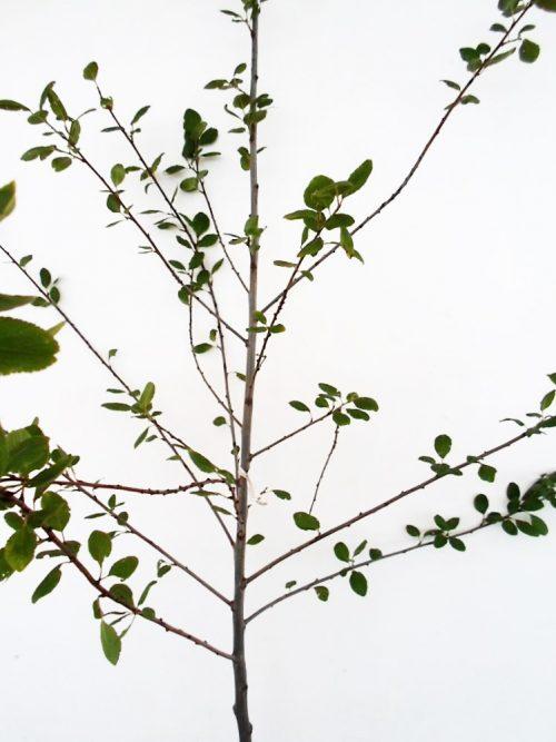 Slyva Ontarijo (Prunus)