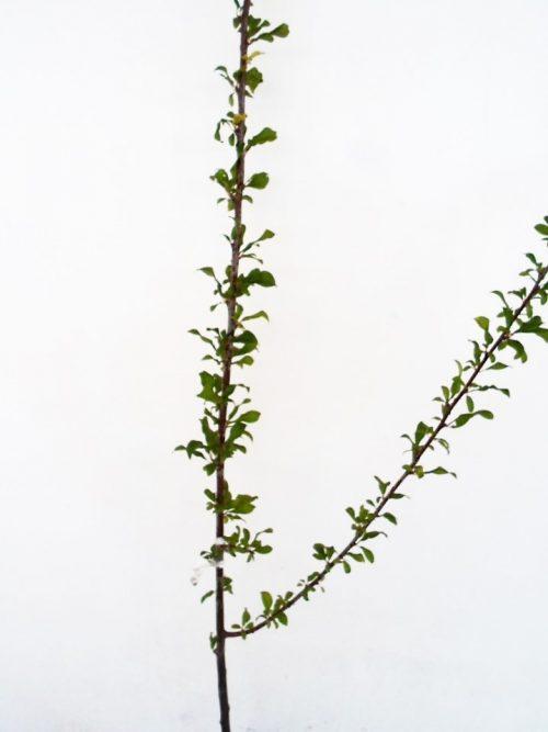 Slyva Skoropladnaja (Prunus)
