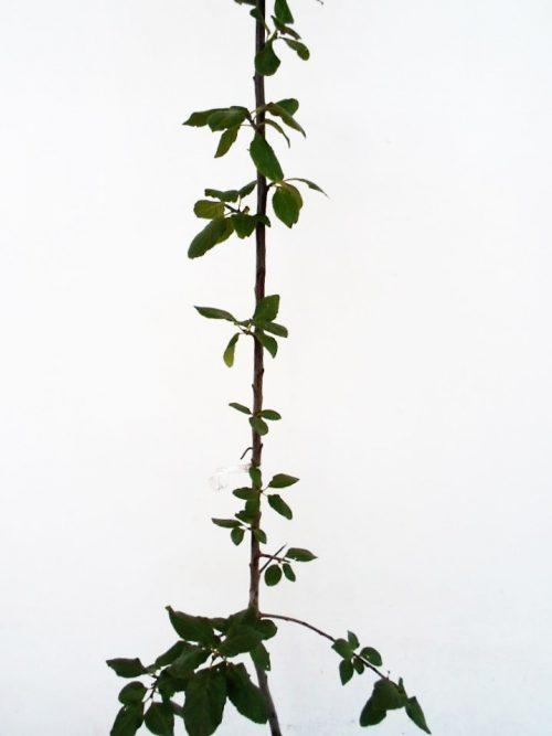 Slyva Uleno renklodė (Prunus)